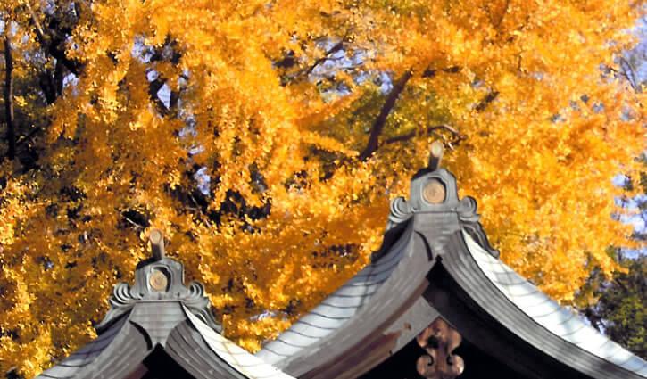大銀杏(樹齢700年のご神木)必勝祈願