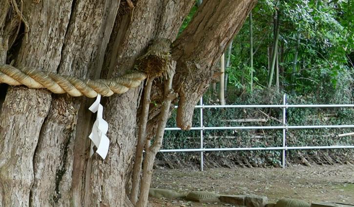 乳銀杏(樹齢700年のご神木)安産祈願